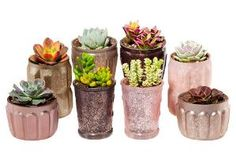 "5"" Succulent Arrangement Trio Kit $94.00 by One Kings Lane"
