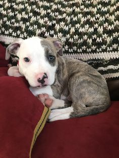 cute puppies Which Pitbull mix breed is the perfect fit for you and your family? Learn about more than 44 different kinds of Pitbull mixes with facts and pictures. Baby Puppies, Cute Puppies, Dogs And Puppies, Pyrenees Puppies, Poodle Puppies, Cute Baby Animals, Funny Animals, Pitbull Mix Breeds, Cute Pitbulls