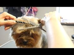 Grooming Guide - How to Groom a Yorkshire Terier - Douglas Dog Hotel Grooming Yorkies, Dog Grooming Styles, Dog Grooming Tips, Yorkie Puppy, Toy Yorkshire Terrier, Yorkshire Terrier Haircut, Yorkie Hairstyles, Puppy Cut, Animales