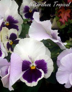 Variedad blanca-púrpura de la flor del Pensamiento, Viola × wittrockiana