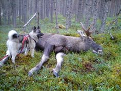 """Norsk Elghund  ( Norwegian Elkhound)  """"Our """"first child"""" was a Norwegian Elkhound.  Great dogs!""""  Great breed, I agree."""