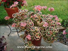 Family: Geraniaceae Scientific Name: Pelargonium hortorum Mrs. Cox Common Name: Geranium Mrs Cox