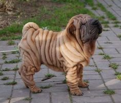Shar Pei were named in 1978 as one of the world's rarest dog breeds by TIME magazine and the Guinness World Records. The American Kennel Club did not recognize the breed until Animals And Pets, Baby Animals, Cute Animals, Pet Dogs, Dogs And Puppies, Doggies, Wrinkly Dog, Shar Pei Puppies, Vizsla Puppies