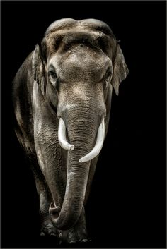 The white one Asian Elephant, Elephant Love, Elephant Art, Elephant Pictures, Animal Pictures, Animal Paintings, Animal Drawings, Beautiful Creatures, Animals Beautiful