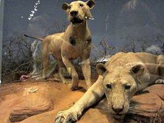 The lions reportedly killed up to 135 people in 1898, but does the truth live up to the myth?