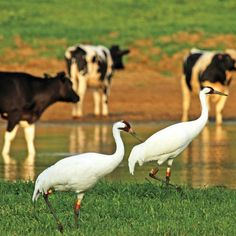 Whooping Cranes in SouthWood Crane Dance, Creatures, Birds, Culture, Animals, Image, Style, Swag, Animales