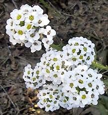 Edible sweet alyssum | Leaves, young stems, and flowers are used for flavoring in salads or any dish where pungency is desired. The flowers candy well.  The blossom are honey-scented.