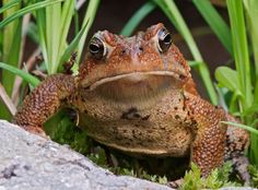 American toad - One of the best insect pest controls around. I keep ground level water features and toad houses in my gardens. A toad house can be as simple as a broken clay pot or as fancy as a faerie castle, but they must be open on the bottom so the toad can dig into the soil to cool off.