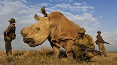 Lawsons pulls both elephant ivory and rhino horns off the auction list after public uproar. (An anti-poaching team guards a Northern White Rhino in Kenya.)