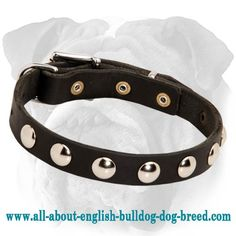 #English #Bulldog Studded #Leather #Collar with Strong Buckle and D-Ring $34.90 | www.all-about-english-bulldog-dog-breed.com
