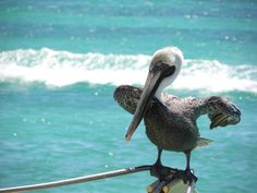 """""""A peculiar bird is the Pelican, whose beak can hold more than his belly-can"""""""