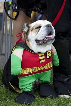 A dog dressed as Batmans sidekick Robin.