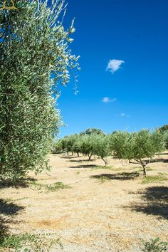 In the olive groves...