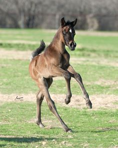 GREY COLT Born 1/26 @ 3:45 p.m. [Mishaal HP x Nafilas Princess RCA] Arabians Ltd