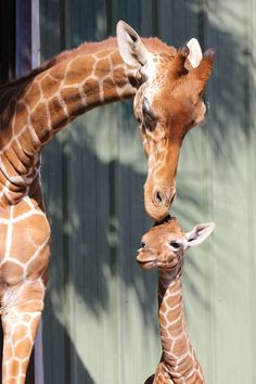 A new baby giraffe born at the Jacksonville Zoo and Gardens January 17th, 2015.