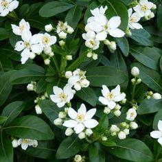 Choisya ternata - Oranger du Mexique- fragrant