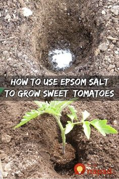 of all Epsom salt is not salt It is NOT something you can put on your food Its actually a compound called magnesium sulfate that occurs naturally And Epsom Salt is known. Growing Tomatoes Indoors, Growing Tomato Plants, Growing Tomatoes In Containers, Growing Vegetables, Grow Tomatoes, Baby Tomatoes, Tomato Seedlings, Heirloom Tomatoes, Cherry Tomatoes