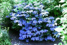 Hydrangea macrophylla Blue Wave - Lacecap Hydrangea