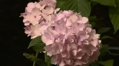 Beloved by gardeners far and wide, hydrangeas nevertheless present some confusion when it comes time for hydrangea pruning. Here are basics that should guide you and help your hydrangea flowers growing healthy and strong.