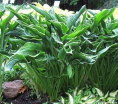 Found in our garden - Hosta 'Praying Hands' - Hosta of the Year 2011 * not a fast multiplier Buy Plants, Shade Plants, Live Plants, Potted Plants, Garden Plants, House Plants, Hosta Varieties, Hosta Gardens, Praying Hands