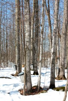 In Maine, the fourth Sunday in March is always Maine Maple Sunday, when producers open their sugarhouses, with free tastings and demonstrations of how syrup is made.