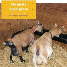 Every winter, someone will post a link to this study in an online group and ask if they should be feeding their goats grain during pregnancy.