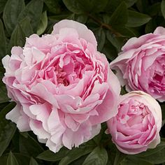 How to grow peonies.