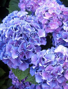 Our Anniversary Limited Edition Designer-Curated Collection Hortensia Hydrangea, Hydrangea Garden, Hydrangea Flower, Flowers Nature, Colorful Flowers, Beautiful Flowers, Belle Plante, Gras, Beautiful Gardens