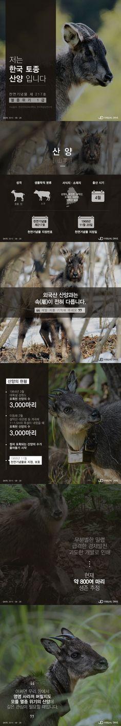 """한국 토종 산양, 멸종위기…""""날 기억해주세요"""" [인포그래픽] #Goral / #Infographic ⓒ 비주얼다이브 무단 복사·전재·재배포 금지"""