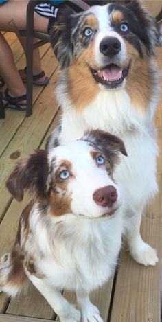 Couple of cutie's (Australian Shepherds)