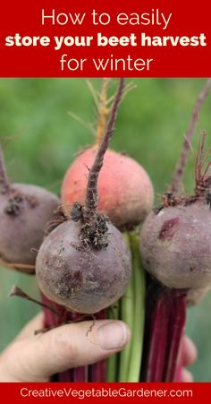 Here's a quick way to store your beet harvest for winter Easily and quickly store beets for the winter & you can use them in delicious recipes until next season. Indoor Vegetable Gardening, Hydroponic Gardening, Organic Gardening, Container Gardening, Gardening Tips, Texas Gardening, Greenhouse Gardening, Winter Vegetables, Root Vegetables