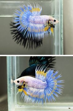 Blue yellow grizzle crowntail