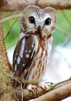 Owl in