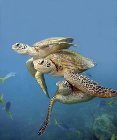 Great Barrier Reef Life turtle / Need to Work on Formation Swimming! Baby Sea Turtles, Cute Turtles, Sea Turtle Pictures, Animals Beautiful, Cute Animals, Tortoise Turtle, Turtle Love, Green Turtle, Underwater Life