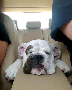 English Bulldog puppyBig or Small we love them all Tghe Crossings is the home of a no pet weight limit! www.thecrossingsatap.com