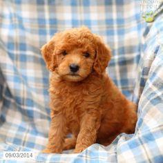 Mini Goldendoodle Puppy for Sale in Pennsylvania