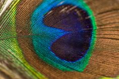 Bright and vivid photography of peacock feather captures the color and texture. Your purchase is a high-resolution image file taken with a Canon Mark III and Peacock Pictures, Rainbow Images, Fotografia Macro, Mandala Tapestry, Peacock Feathers, Man Photo, Macro Photography, Image Photography, Digital Photography