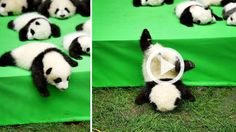 Cuteness Overload! Lihat Bayi-bayi Panda Lucu Ini, Eh Ada Yang Jatuh, Mukanya Duluan