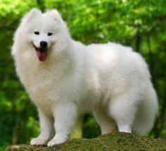 I would love to own a Samoyed one day