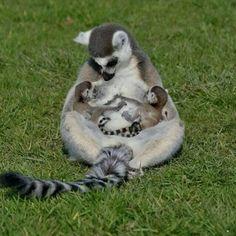 Nursing lemur