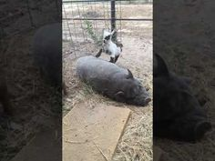 4 day old Pygmy goat babies climbing all over ralphie the pig. He seems to love his hoove massage hahaha Baby Goats, Cute Animal Videos, 3rd Baby, Hippopotamus, Cute Animals, Youtube, Pretty Animals, Cutest Animals, Cute Funny Animals