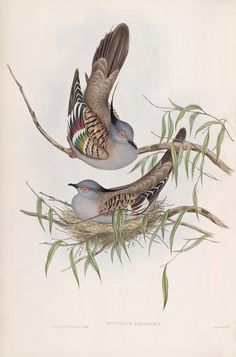 John Gould : Ocyphaps Lophotes. Crested Pigeon. by RenfieldsGarden