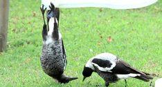 Pássaro Fica Confuso Ao Ver o Que Amigo Faz Com Toalha Pendurada No Estendal