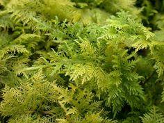 Thuidium tamariscinum Moss