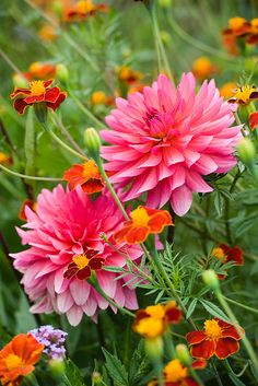 dahlias....  I never have success with these for some reason.