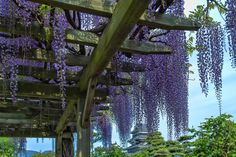 Wisteria by MIYAMOTO Y on 500px