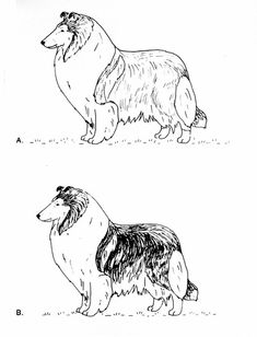 Shetland Sheepdog Coloring Pages | Sheltie Love Drawing by ...