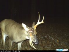 This Mississippi buck looks like it has a pretty serious problem with pedicle damage or something else to cause this abnormal antler.