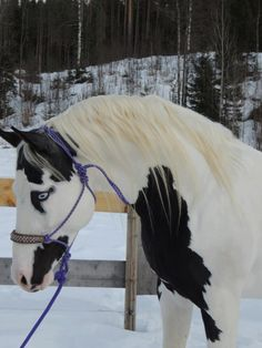 beautiful paint horse in the snow. Graceful bent neck, pretty face and gorgeous blue eyes. Wow!