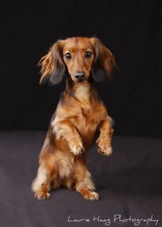 Gorgeous long haired doxie